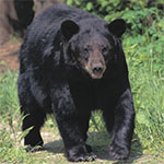 Black-Bear_2